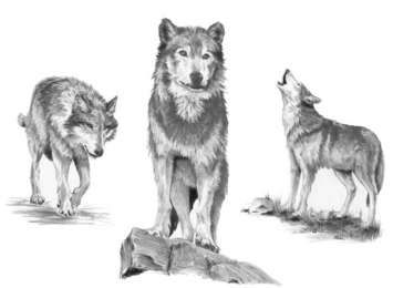 Wolves Drawing Made Easy